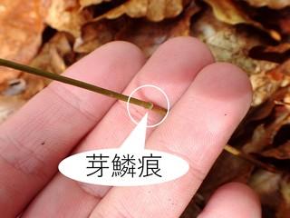 写真5_稚樹に見る芽鱗痕.jpg