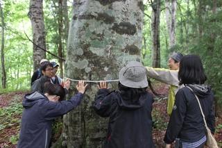 楢戸ブナ二次林のブナ(マザーツリー)の胸高周囲長を実測する参加者