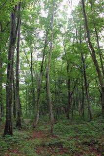 楢戸のブナ二次林